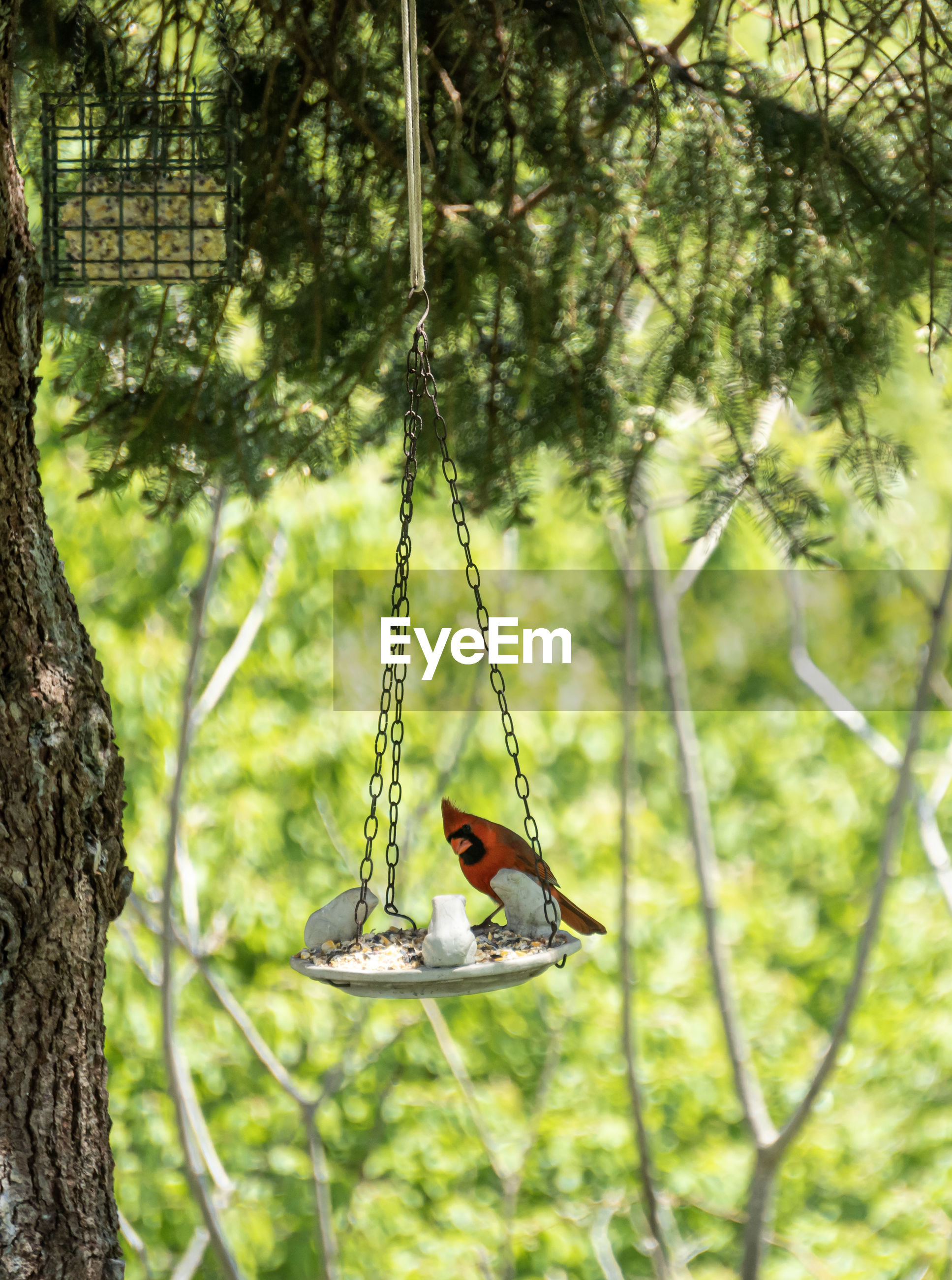 Cardinal perching on a tree