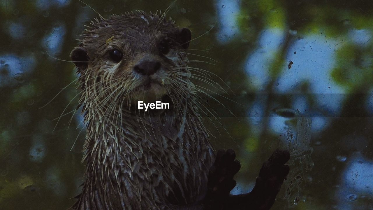 one animal, animals in the wild, animal themes, mammal, animal wildlife, whisker, close-up, no people, water, otter, day, outdoors, portrait, looking at camera, nature, aquatic mammal