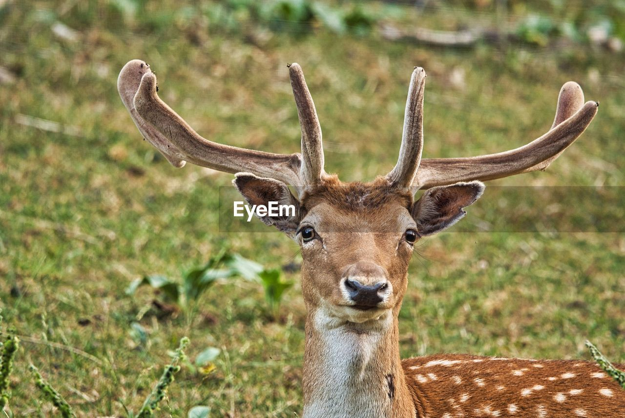 animal wildlife, animal themes, animal, one animal, animals in the wild, portrait, mammal, looking at camera, no people, vertebrate, deer, herbivorous, focus on foreground, day, brown, horned, animal body part, close-up, antler, outdoors, animal head
