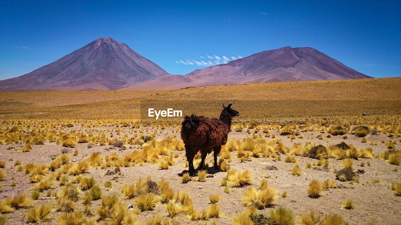 Goat on rural landscape