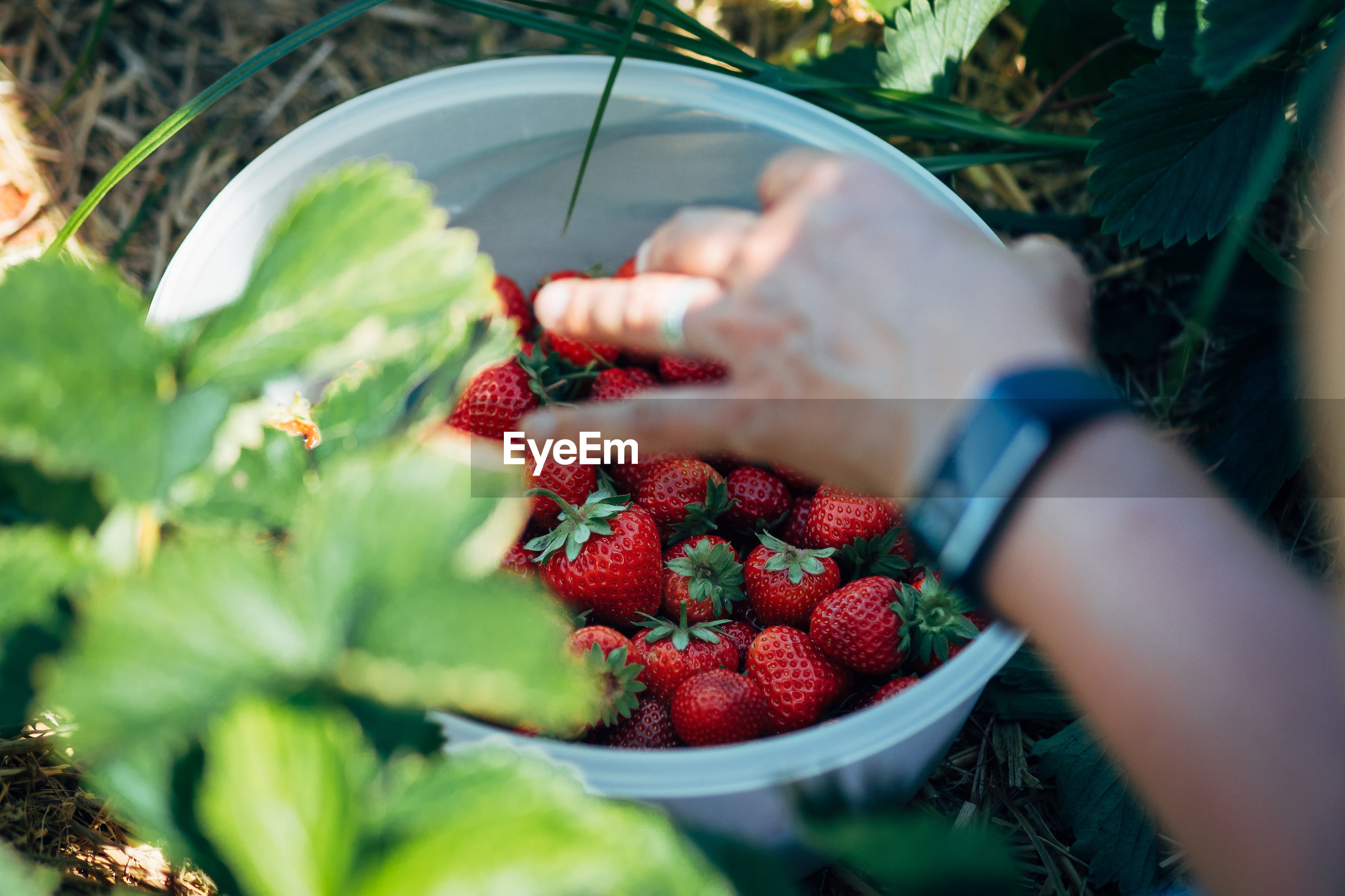Cropped image of woman picking strawberries from bowl at farm