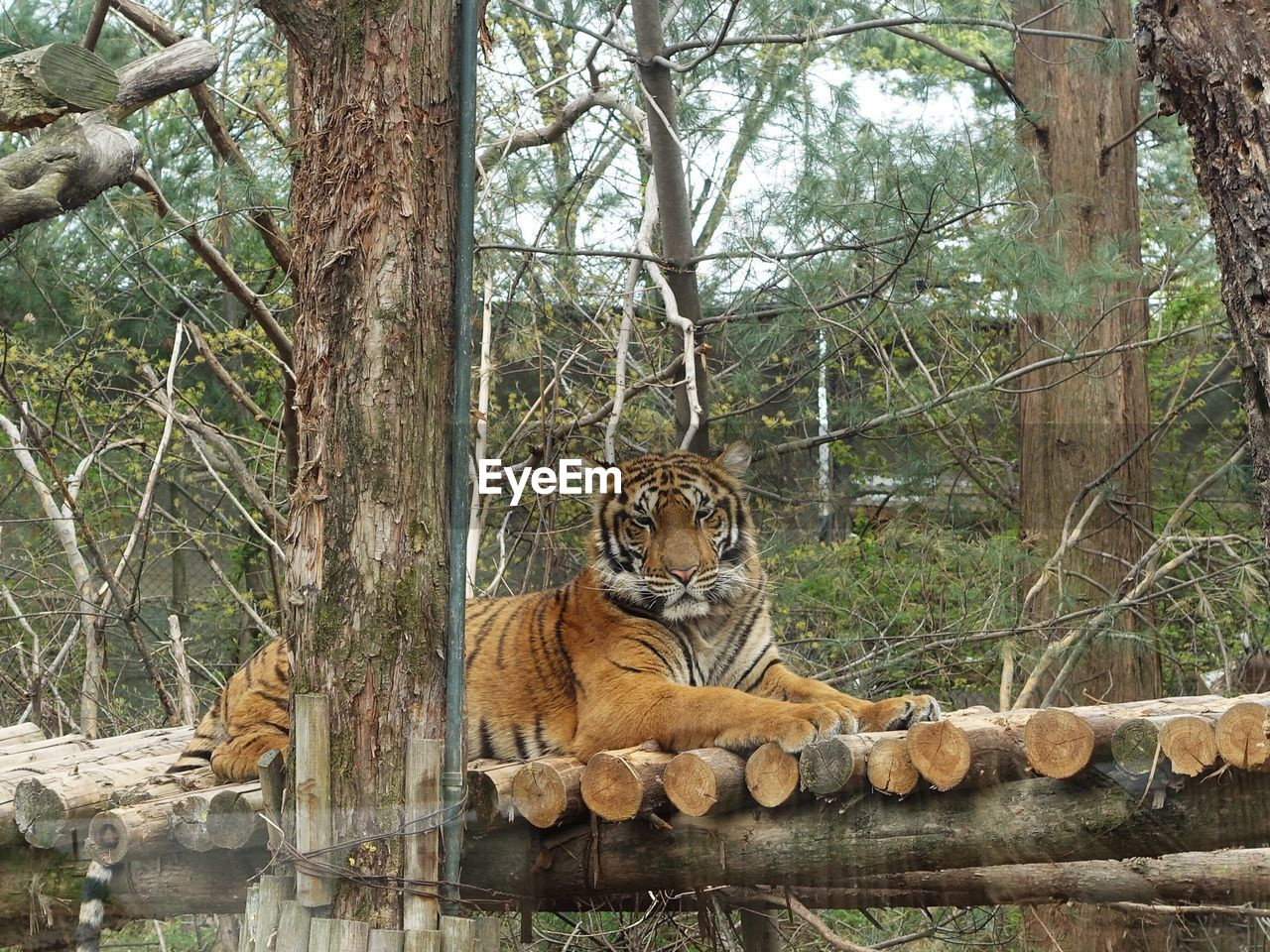 tree, feline, cat, mammal, animal wildlife, animal, big cat, animal themes, animals in the wild, tiger, plant, forest, carnivora, nature, relaxation, land, day, vertebrate, no people, outdoors, zoo, undomesticated cat, whisker