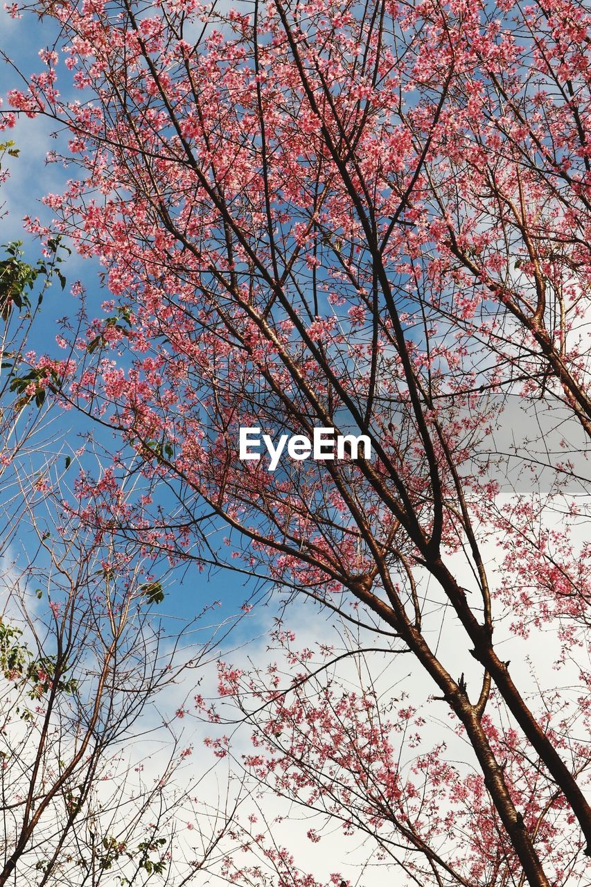 tree, plant, branch, low angle view, sky, flower, flowering plant, nature, growth, beauty in nature, blossom, pink color, springtime, no people, fragility, day, cherry blossom, tranquility, autumn, outdoors, cherry tree, change, spring, tree canopy