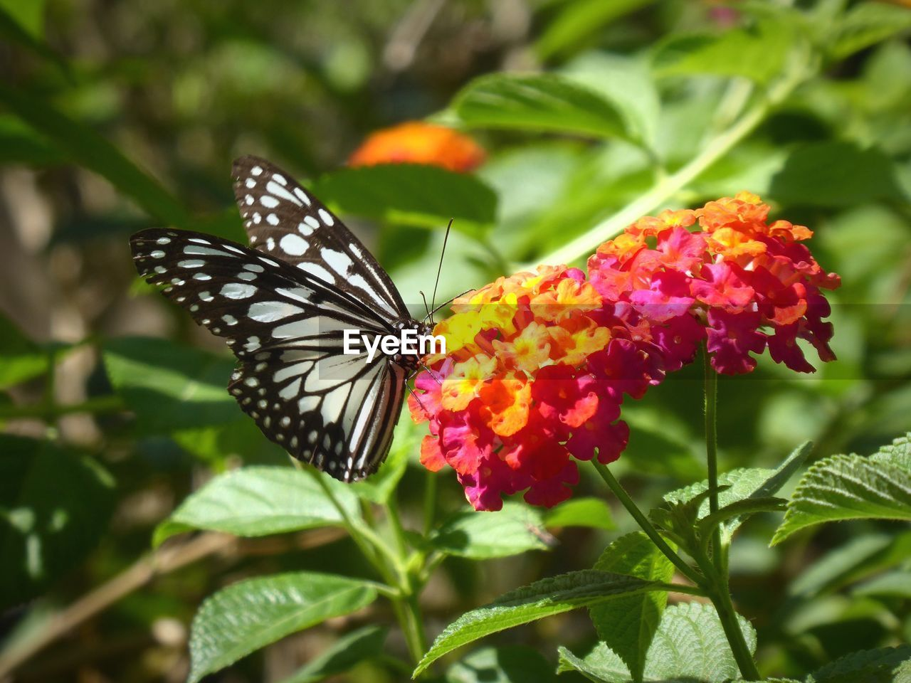 flower, beauty in nature, flowering plant, animal wildlife, butterfly - insect, animal wing, fragility, vulnerability, plant, insect, freshness, growth, animal themes, invertebrate, animals in the wild, animal, close-up, one animal, petal, nature, flower head, pollination, no people, lantana, outdoors, butterfly