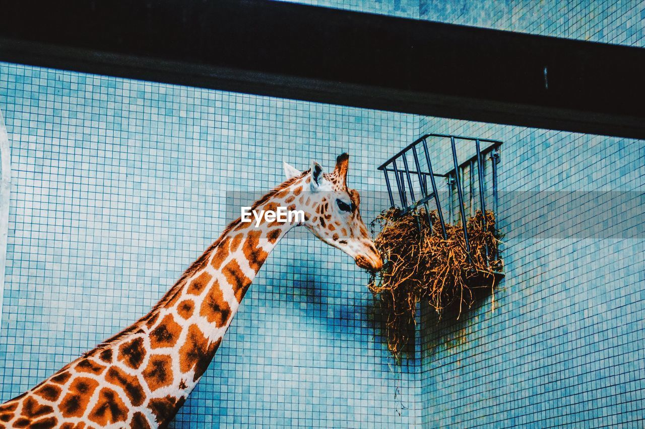 Low angle view of giraffe eating from basket against wall in cage