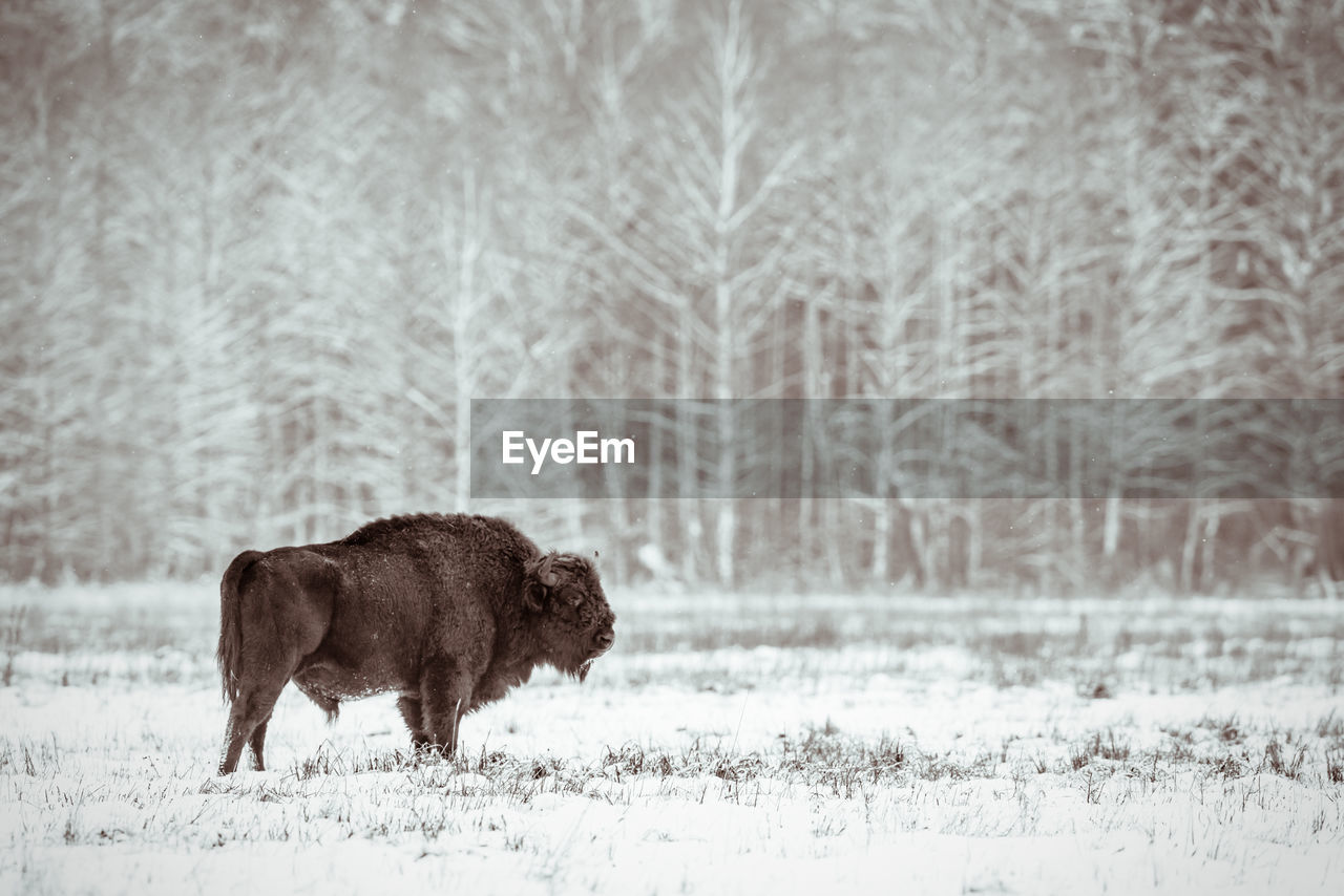 snow, winter, animal themes, cold temperature, animal, mammal, animal wildlife, animals in the wild, vertebrate, one animal, tree, land, nature, field, plant, no people, american bison, domestic animals, day, outdoors, snowing, extreme weather, herbivorous, blizzard