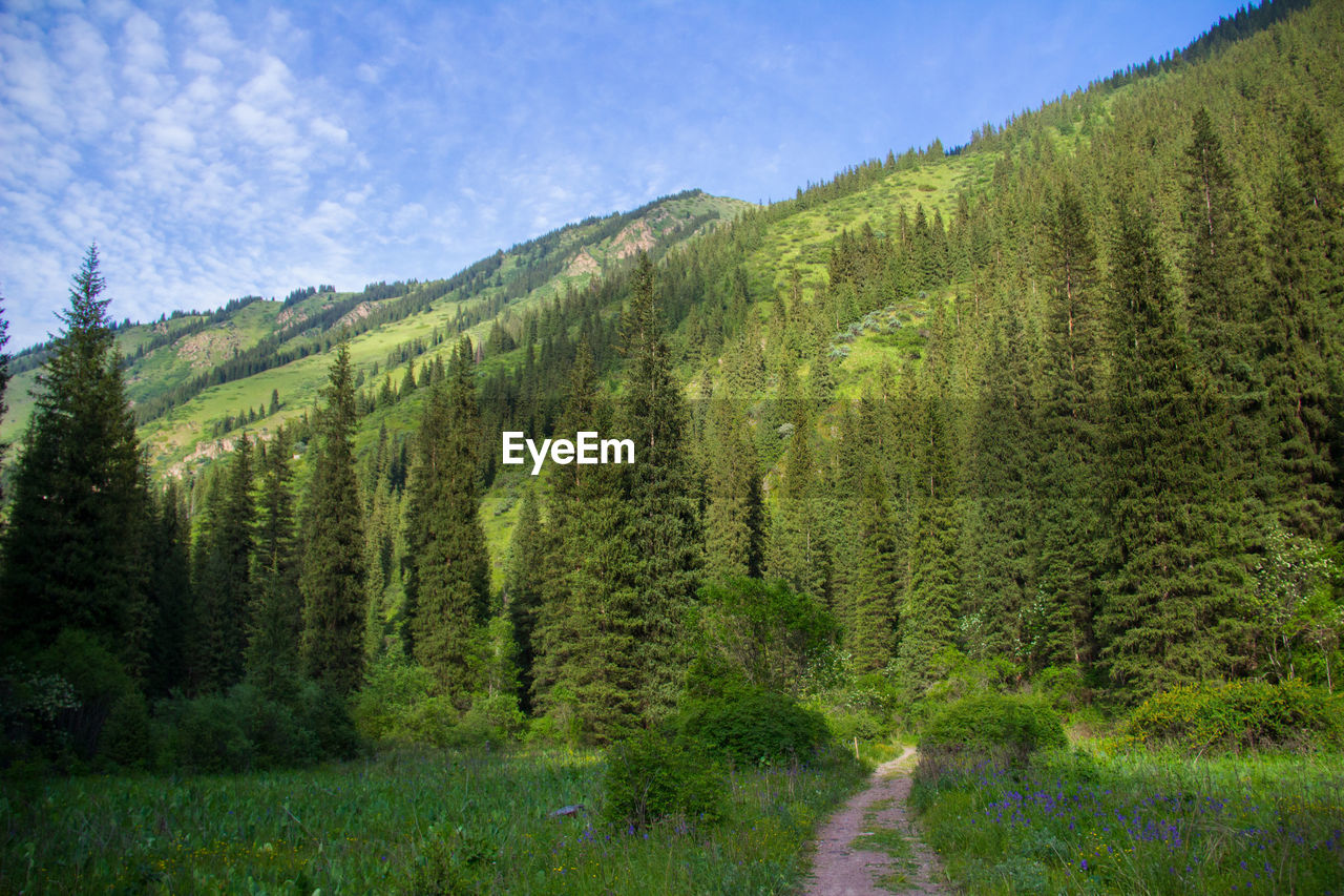 SCENIC VIEW OF PINE TREES ON MOUNTAIN AGAINST SKY