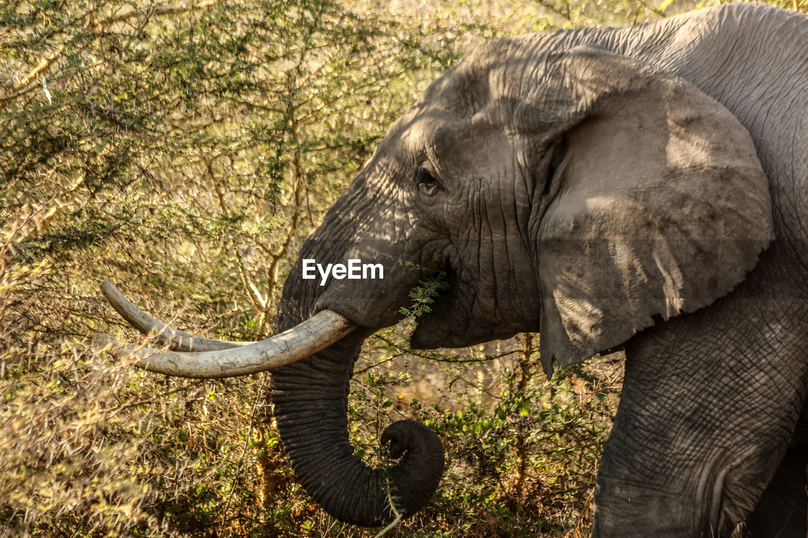 African elephant walking by trees