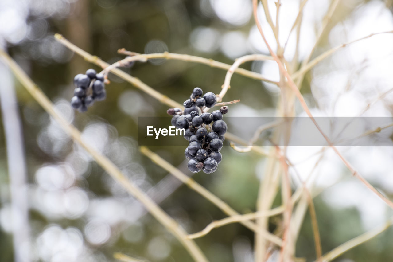 fruit, food and drink, healthy eating, food, berry fruit, freshness, growth, plant, close-up, focus on foreground, day, wellbeing, nature, no people, tree, blackberry - fruit, selective focus, plant stem, outdoors, beauty in nature, ripe