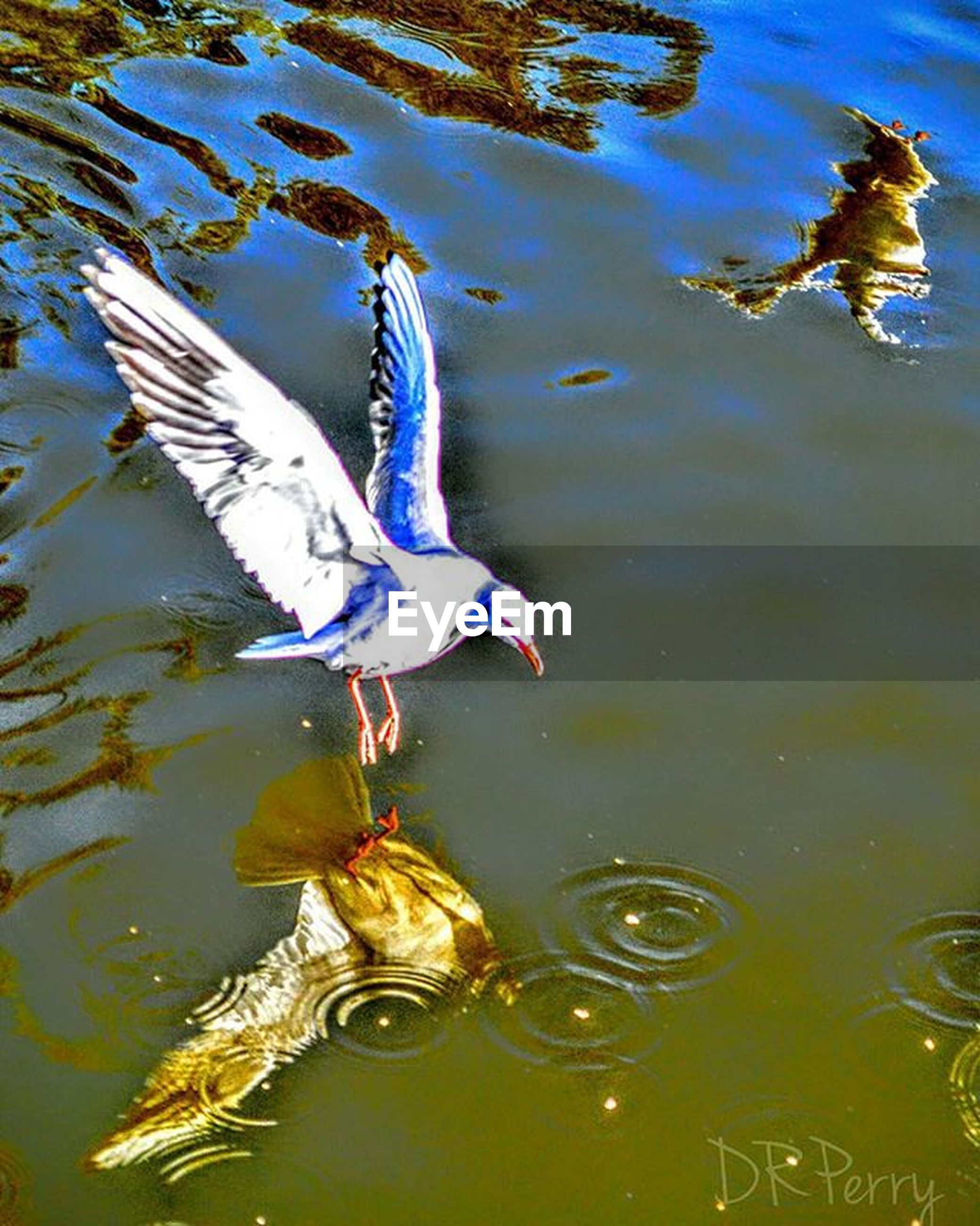 animals in the wild, one animal, animal themes, animal wildlife, water, reflection, lake, bird, no people, outdoors, day, swimming, nature, close-up