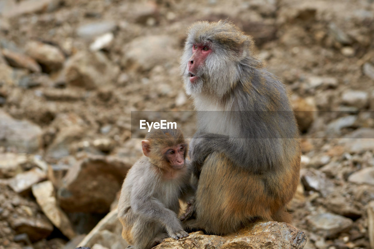 monkey, primate, animal themes, animal, mammal, animal wildlife, animals in the wild, group of animals, young animal, vertebrate, animal family, two animals, day, togetherness, solid, rock, rock - object, no people, focus on foreground, outdoors, care, animal head, baboon