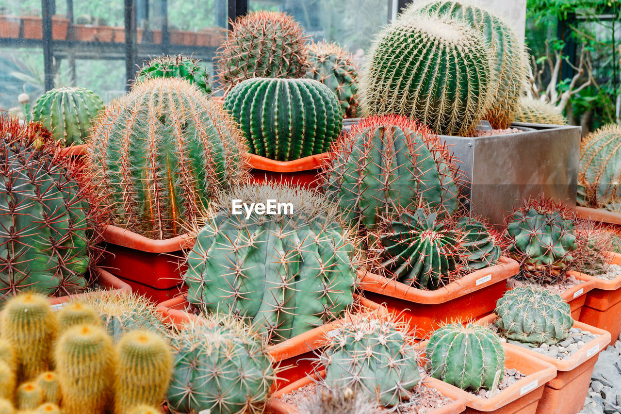 cactus, succulent plant, thorn, sharp, barrel cactus, spiked, green color, growth, potted plant, plant, nature, day, no people, beauty in nature, sign, full frame, outdoors, botany, large group of objects, field, retail display, plant nursery, flower pot