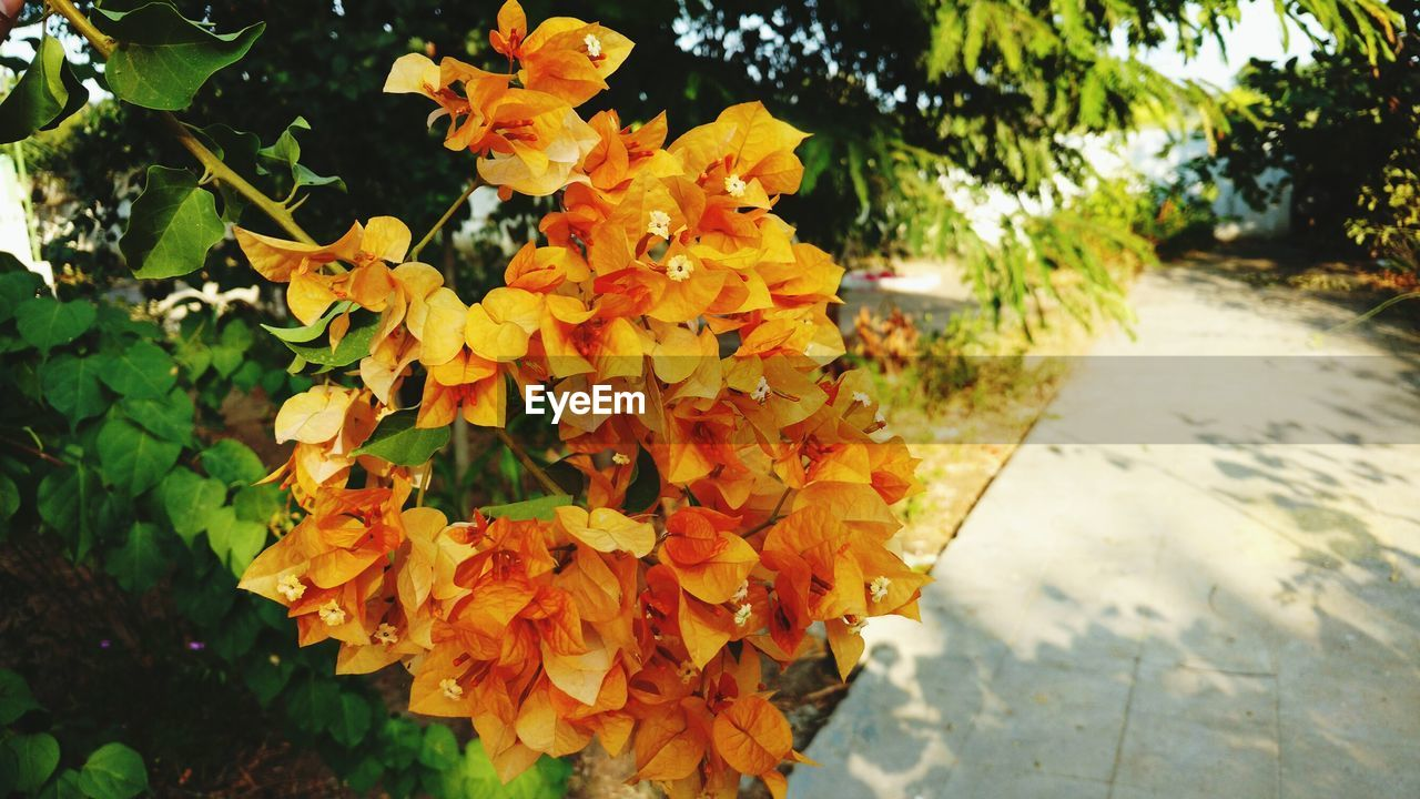 Close-Up Of Orange Bougainvillea Blooming At Park