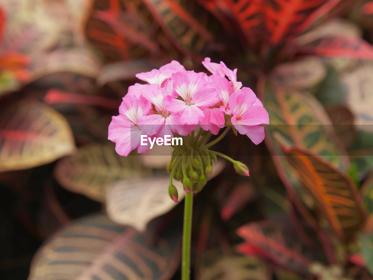 flower, petal, fragility, beauty in nature, nature, pink color, growth, flower head, freshness, no people, close-up, leaf, outdoors, plant, day, blooming