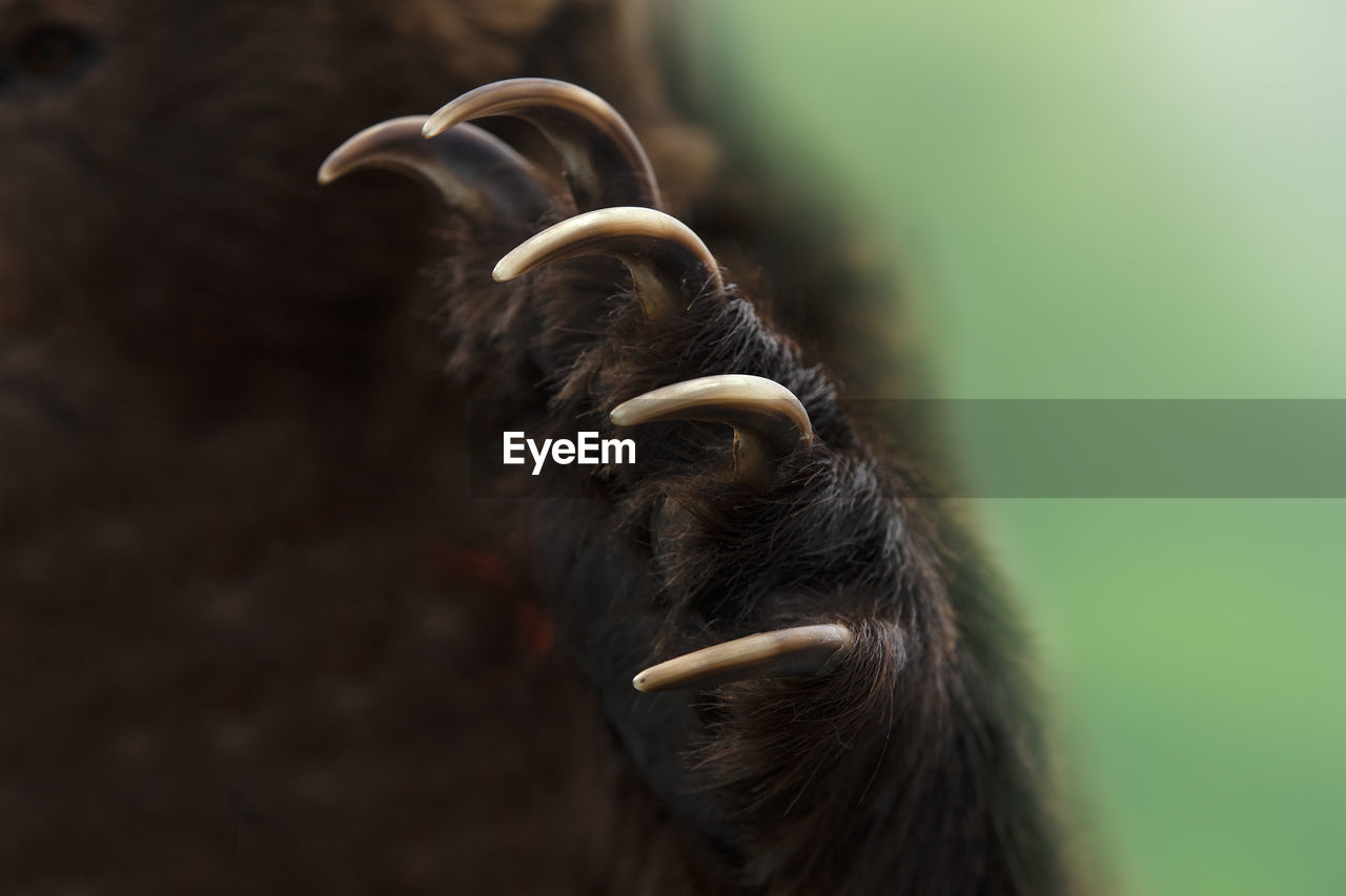 The close up shot of a kamchatka brown bear paw
