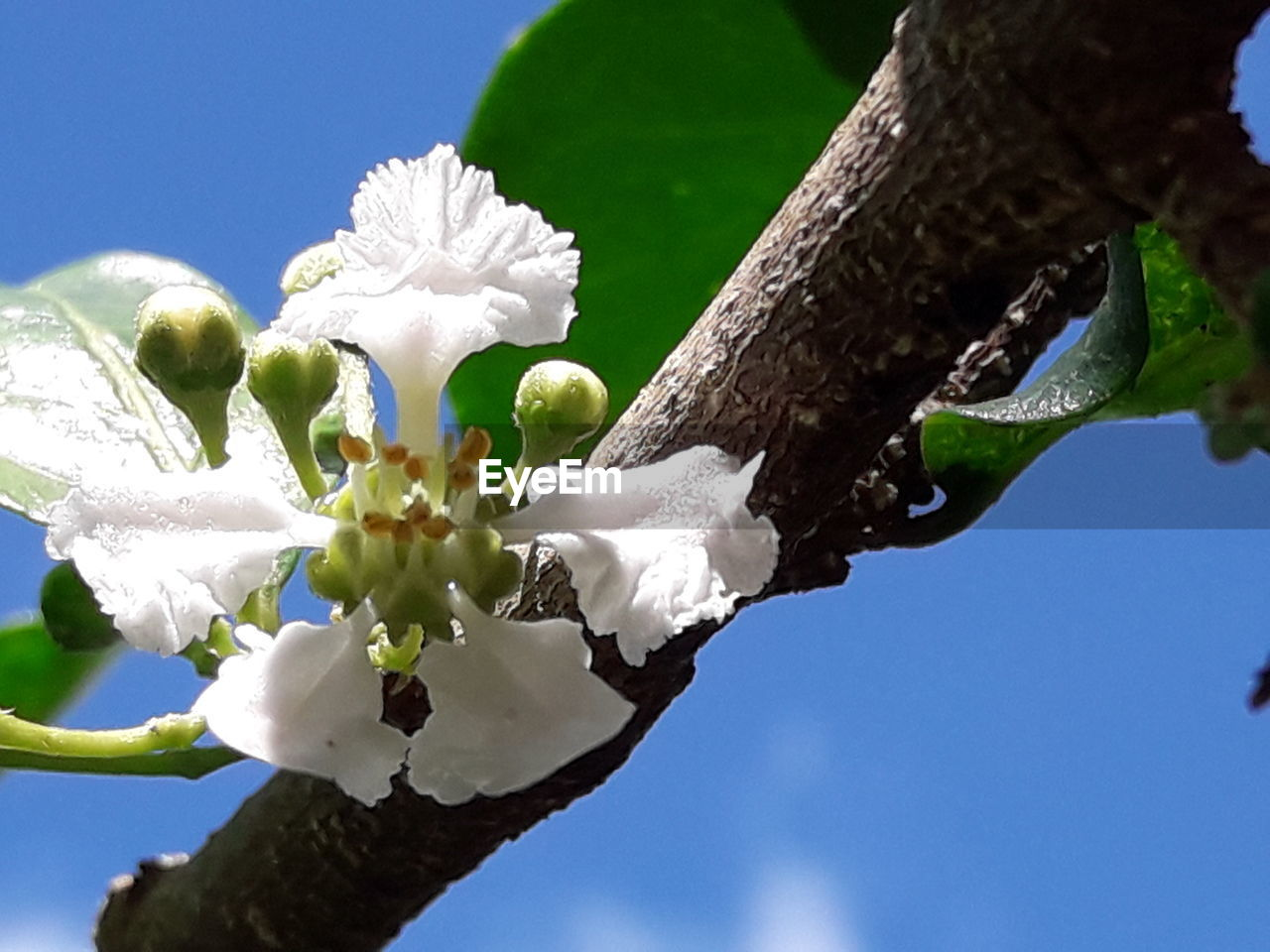 flower, white color, tree, growth, fragility, beauty in nature, petal, nature, freshness, low angle view, branch, flower head, day, no people, outdoors, blossom, blooming, springtime, close-up, sky