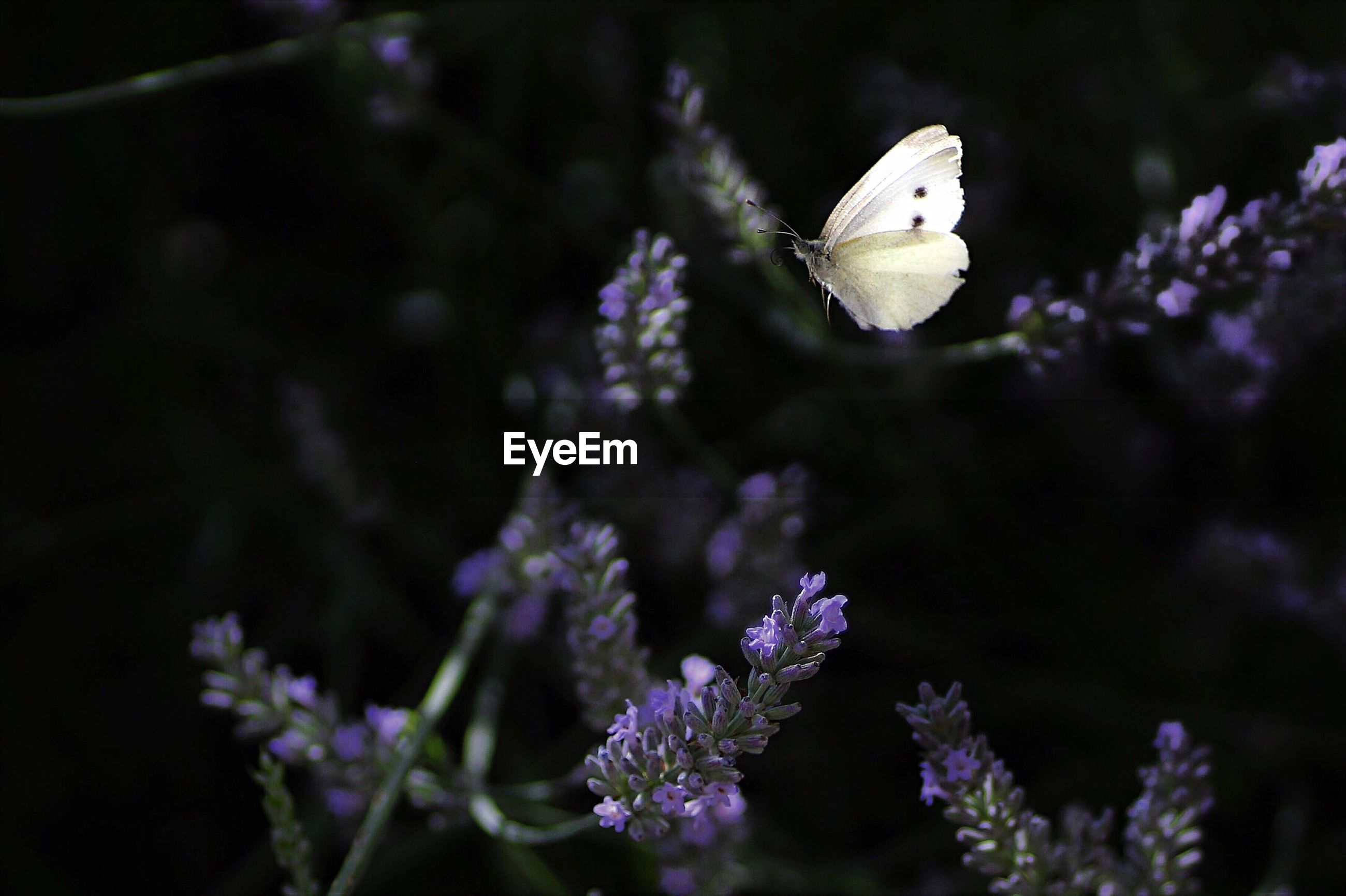 White butterfly flying by purple flowers at park