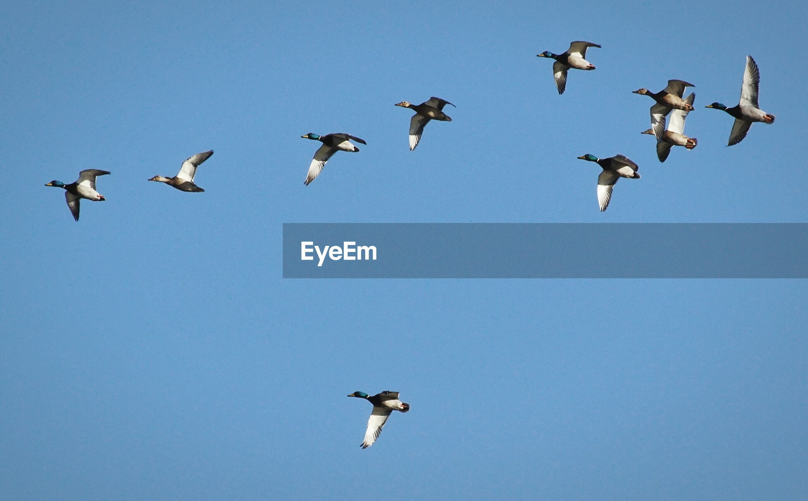 Low angle view of ducks flying against clear blue sky