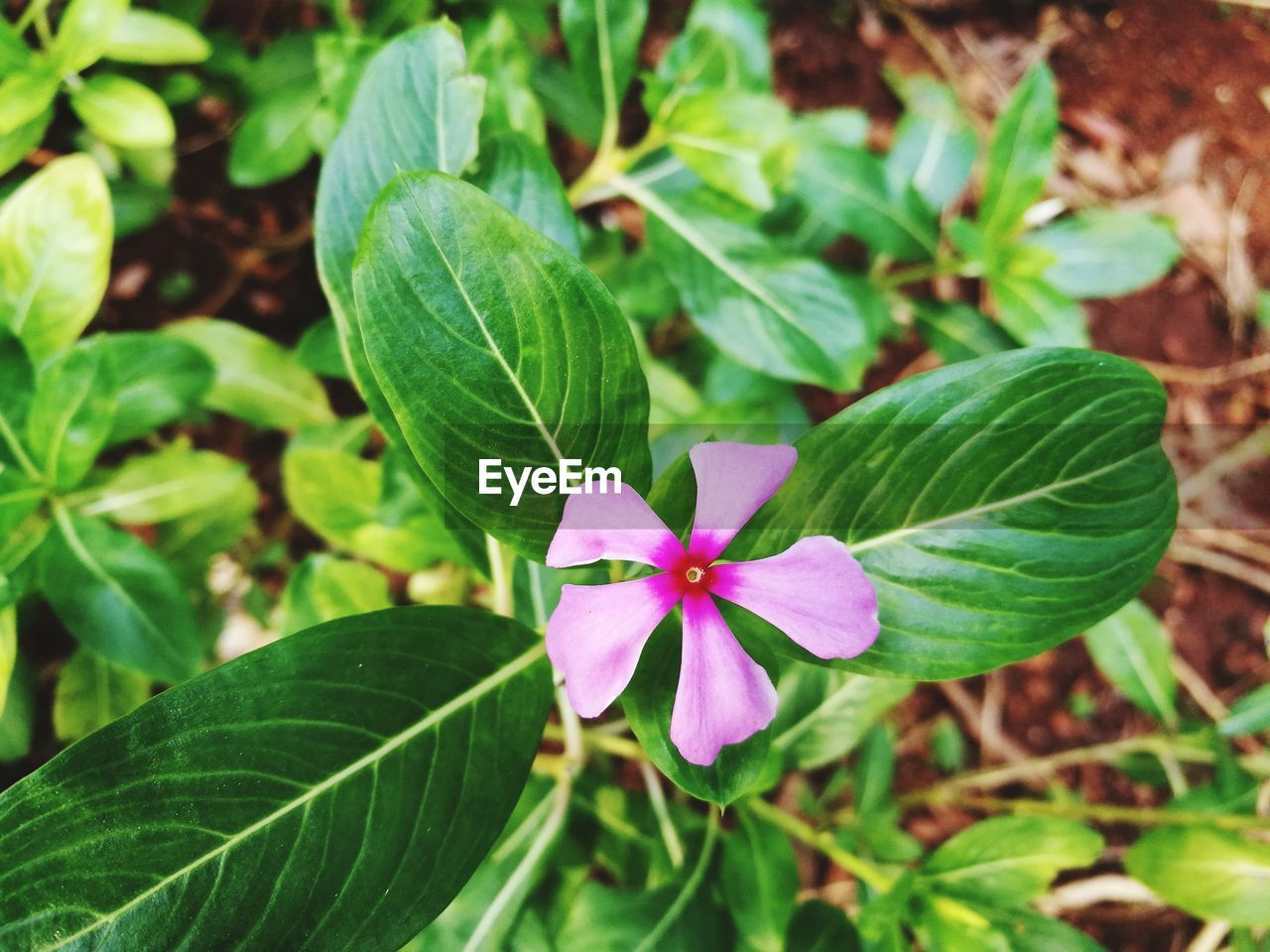 leaf, flower, petal, green color, growth, fragility, beauty in nature, freshness, periwinkle, flower head, nature, plant, blooming, close-up, pink color, day, outdoors, no people