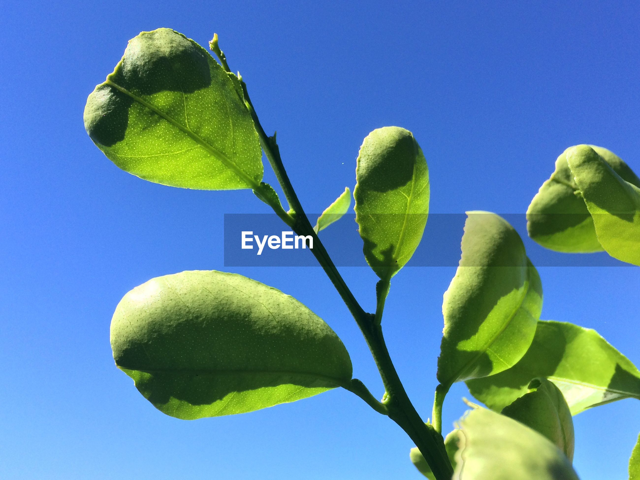 LOW ANGLE VIEW OF FRESH GREEN PLANT AGAINST CLEAR BLUE SKY
