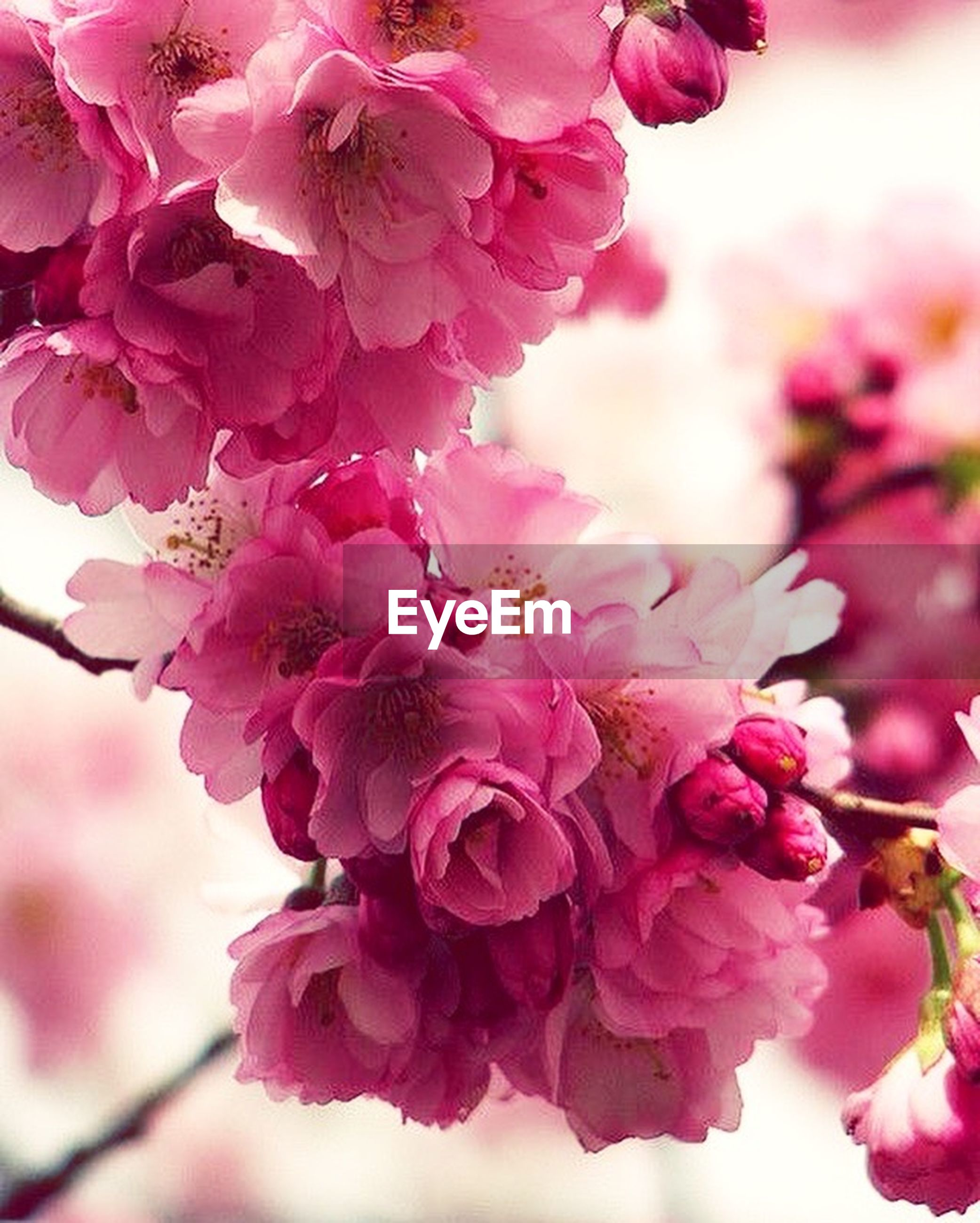 flower, freshness, pink color, fragility, beauty in nature, growth, petal, close-up, nature, focus on foreground, flower head, blooming, blossom, in bloom, pink, twig, plant, botany, cherry tree, day, outdoors, no people, selective focus, softness