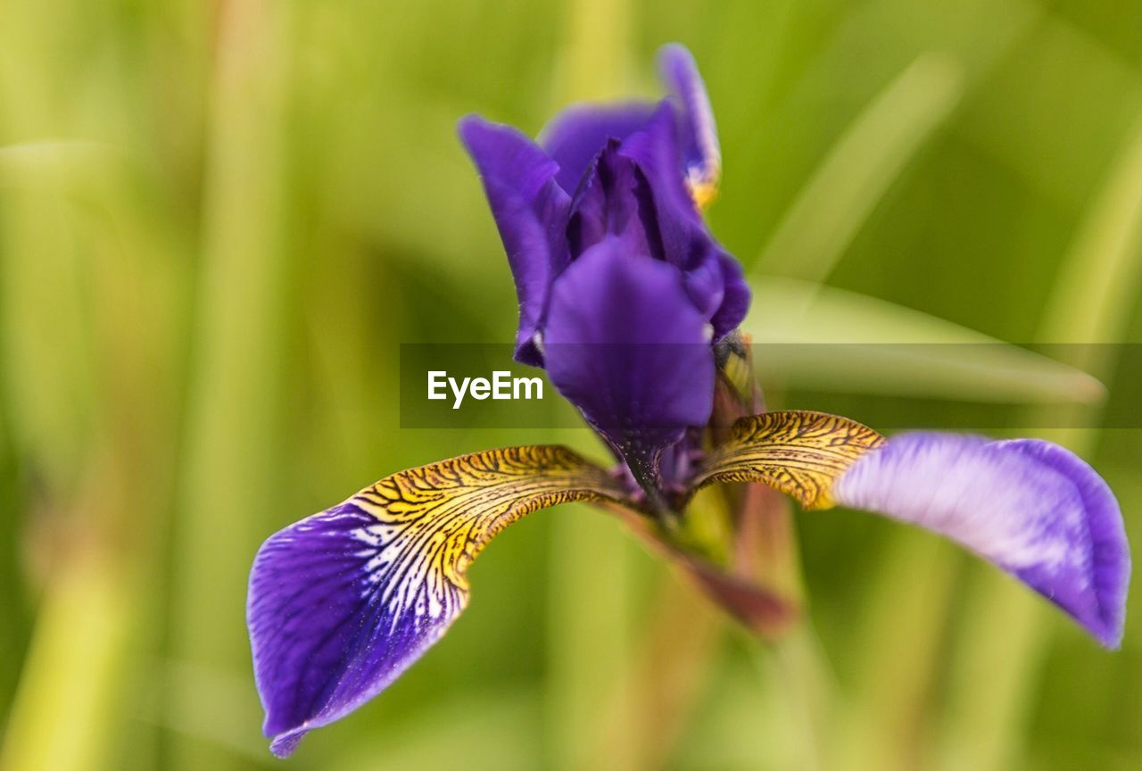flower, flowering plant, fragility, vulnerability, plant, petal, beauty in nature, freshness, purple, growth, close-up, flower head, inflorescence, iris, iris - plant, nature, no people, focus on foreground, day, field, pollen