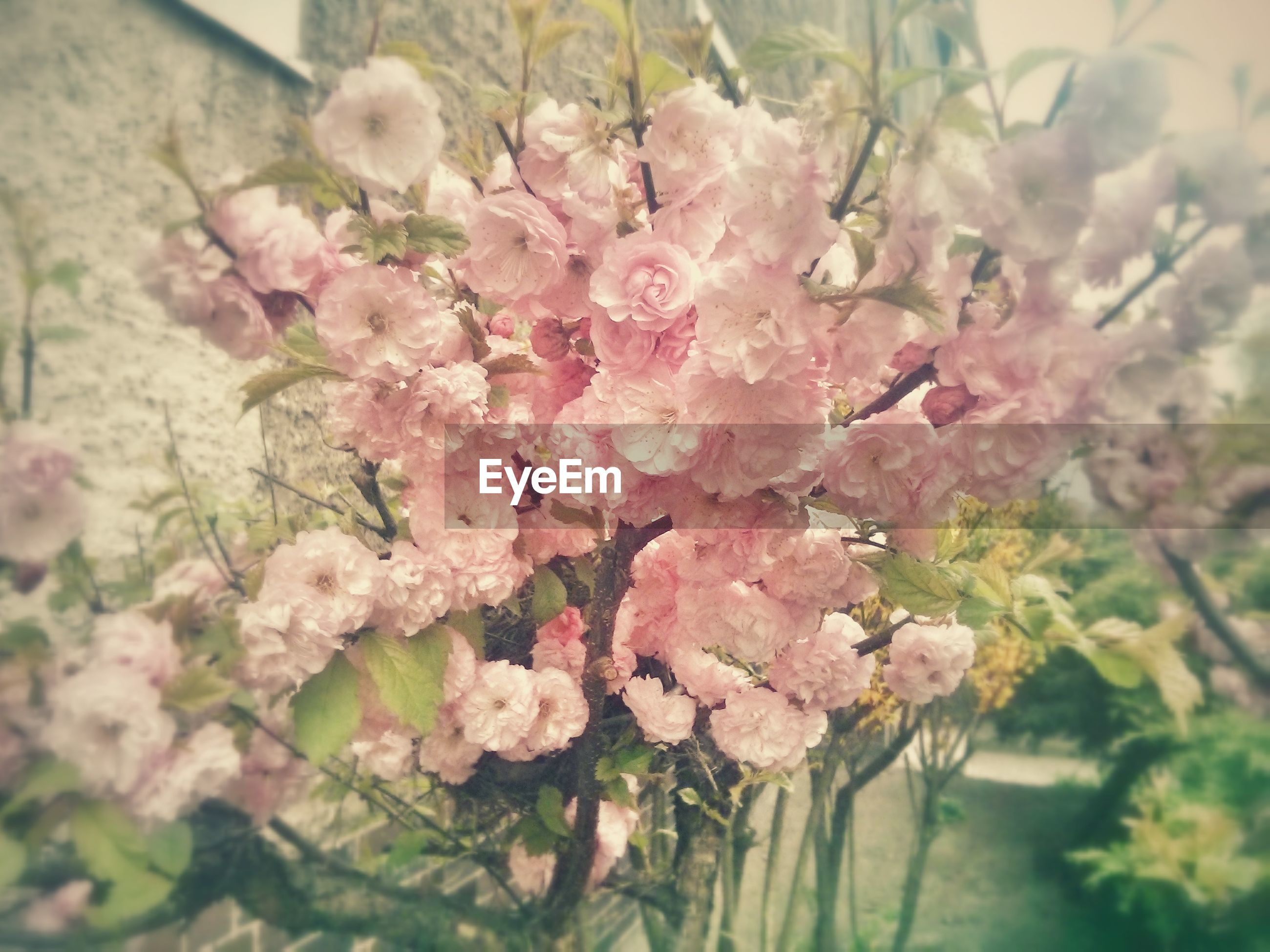 flower, freshness, growth, fragility, beauty in nature, branch, nature, pink color, focus on foreground, close-up, petal, cherry blossom, tree, blossom, blooming, cherry tree, in bloom, springtime, flower head, plant