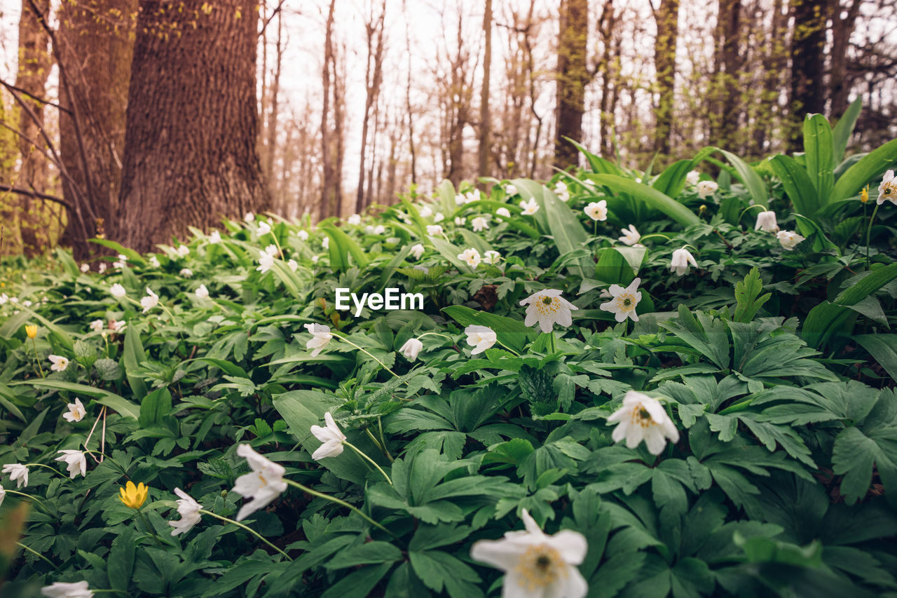 CLOSE-UP OF FLOWERING PLANTS IN FOREST