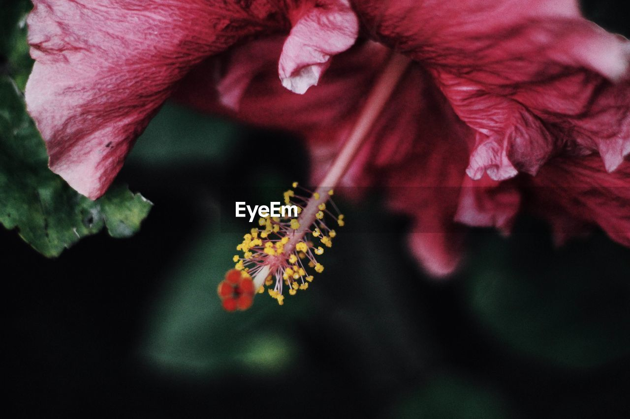 flower, fragility, petal, beauty in nature, flower head, nature, growth, close-up, freshness, plant, outdoors, pollen, day, no people, blooming, springtime, hibiscus