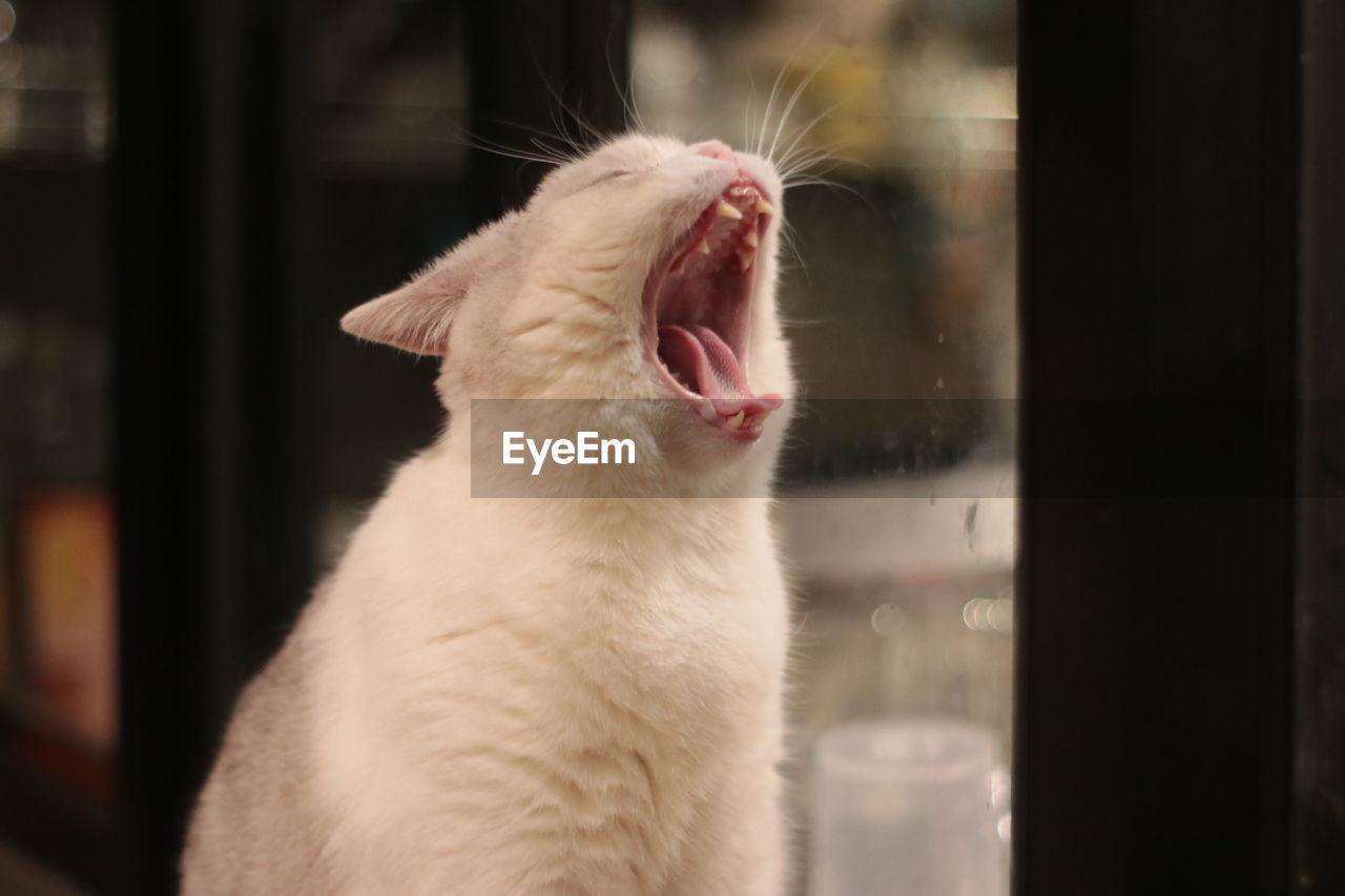 CLOSE-UP OF CAT YAWNING ON WINDOW