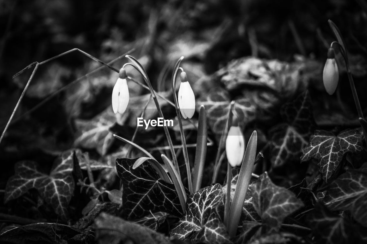 plant, growth, close-up, freshness, land, fragility, nature, field, vulnerability, flower, no people, flowering plant, beauty in nature, focus on foreground, snowdrop, selective focus, day, petal, leaf, plant part, flower head, crocus
