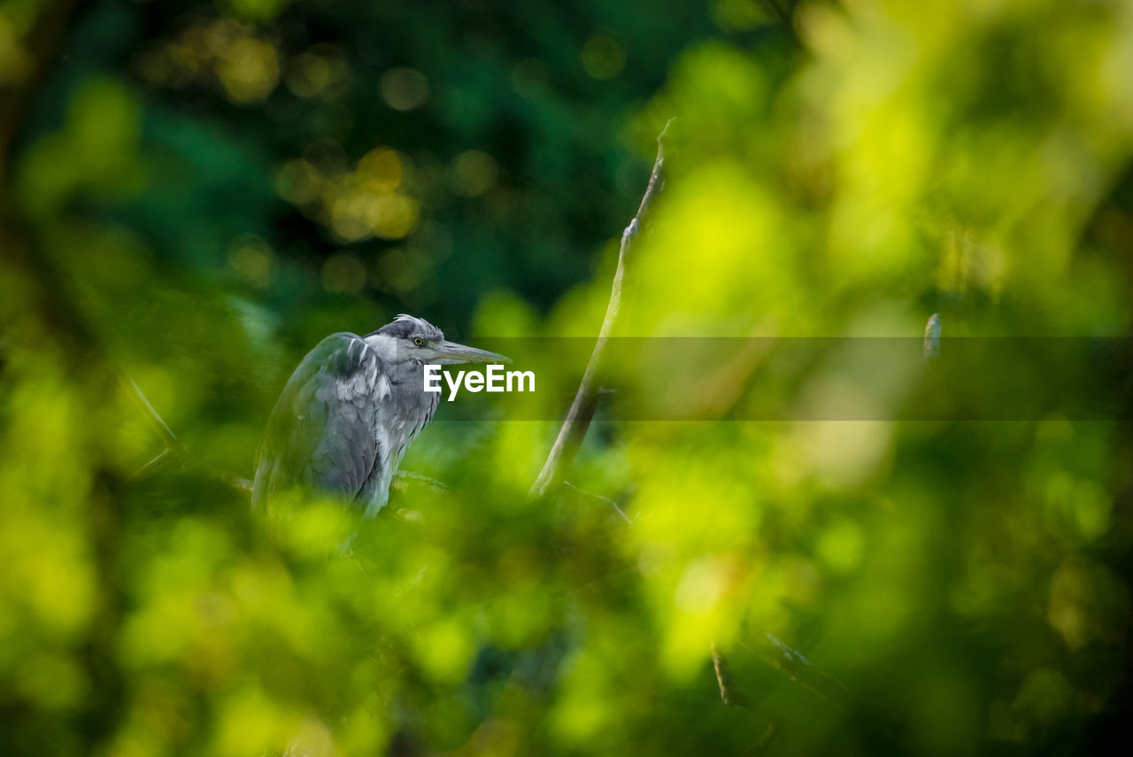 animal wildlife, animals in the wild, vertebrate, animal themes, bird, one animal, animal, plant, day, perching, focus on foreground, green color, no people, heron, nature, selective focus, outdoors, tree, beauty in nature, growth