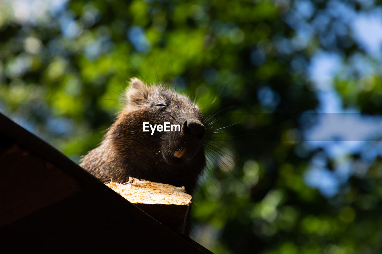 one animal, animal, animal themes, animal wildlife, animals in the wild, mammal, vertebrate, no people, focus on foreground, day, tree, low angle view, nature, outdoors, rodent, plant, sunlight, close-up, wood - material, looking, whisker, animal head, herbivorous