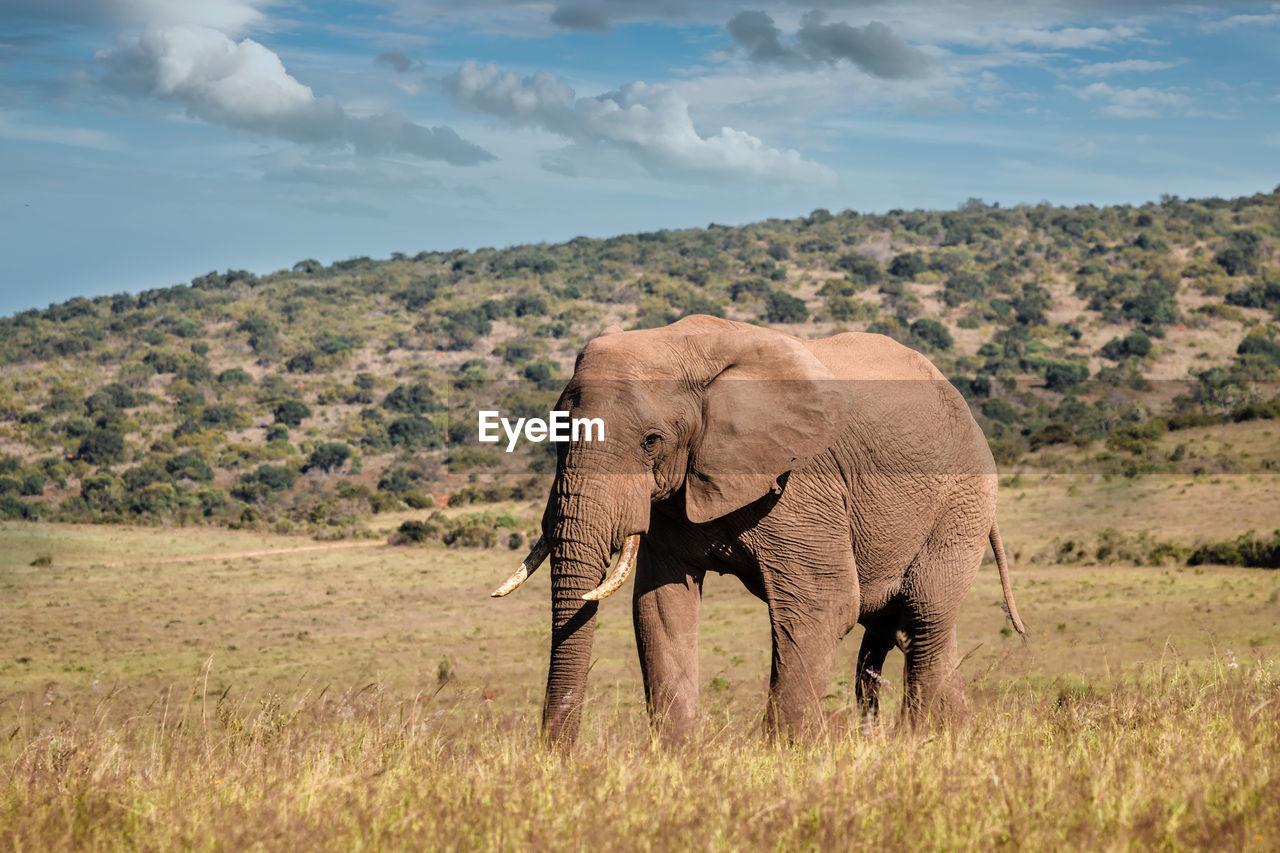 ELEPHANT ON FIELD