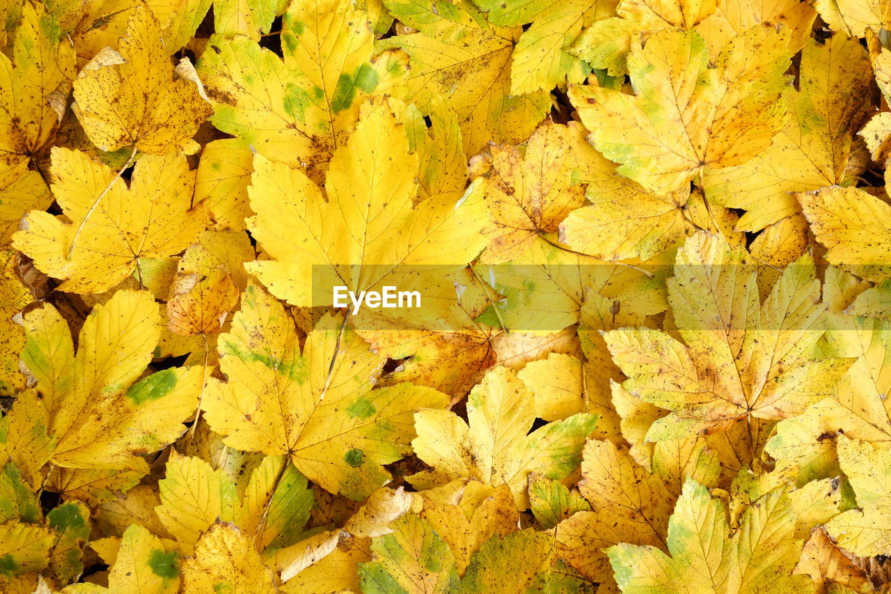 autumn, leaf, change, yellow, nature, dry, backgrounds, no people, maple leaf, close-up, abundance, fragility, full frame, outdoors, day, maple, beauty in nature, freshness