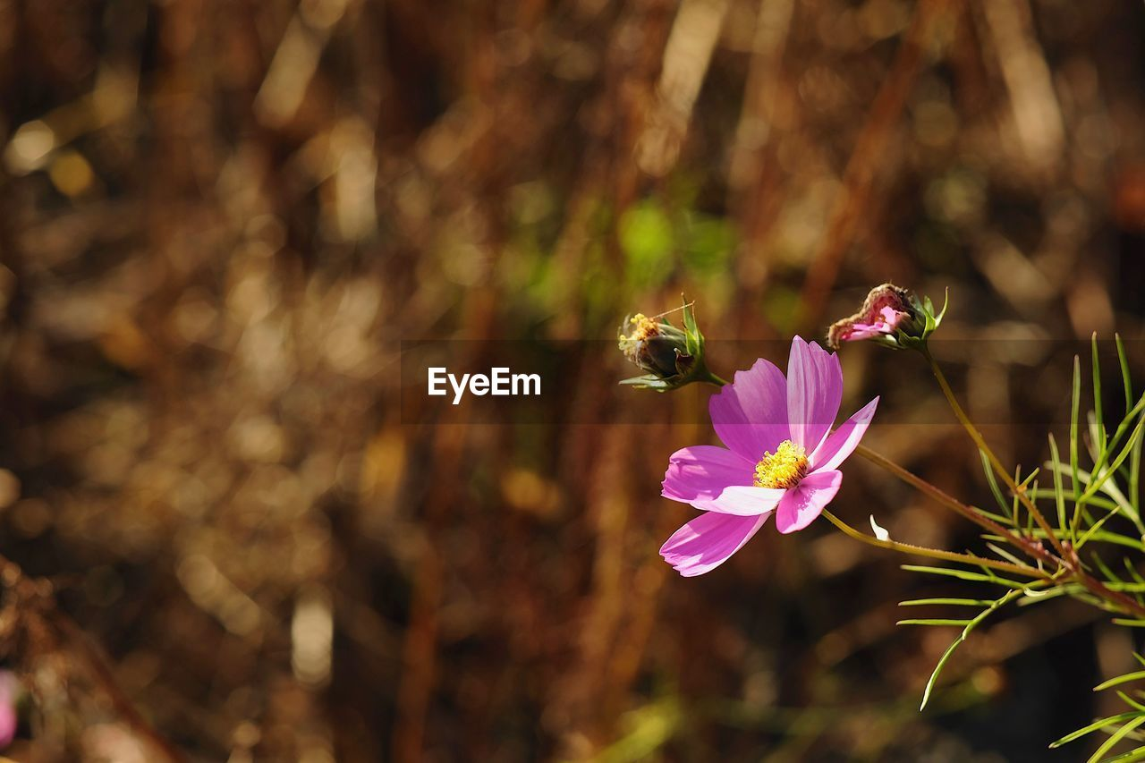 flowering plant, flower, fragility, plant, freshness, vulnerability, beauty in nature, petal, animal, animals in the wild, one animal, growth, insect, animal themes, invertebrate, animal wildlife, flower head, close-up, focus on foreground, bee, no people, pink color, pollination, pollen, purple