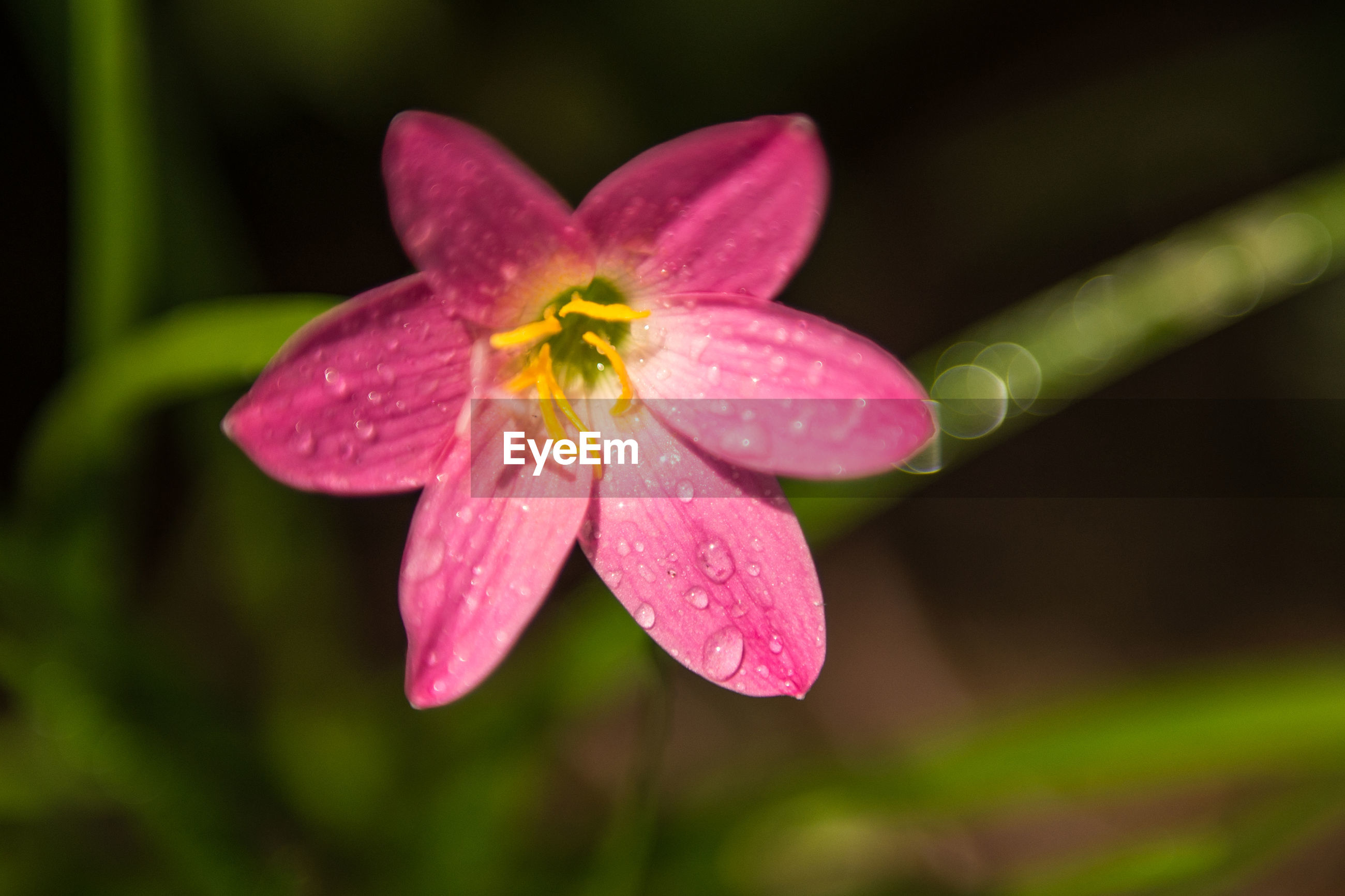 CLOSE-UP OF PINK FLOWER WITH WATER DROPS ON PLANT