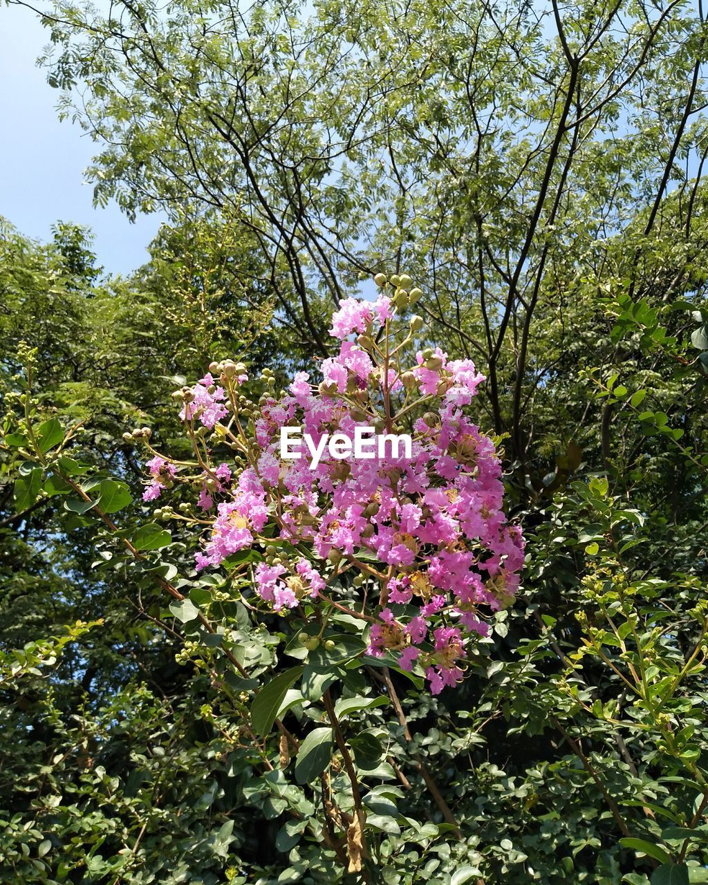plant, flower, flowering plant, beauty in nature, growth, tree, pink color, fragility, vulnerability, freshness, nature, day, no people, branch, low angle view, blossom, springtime, botany, close-up, outdoors, flower head, purple, lilac