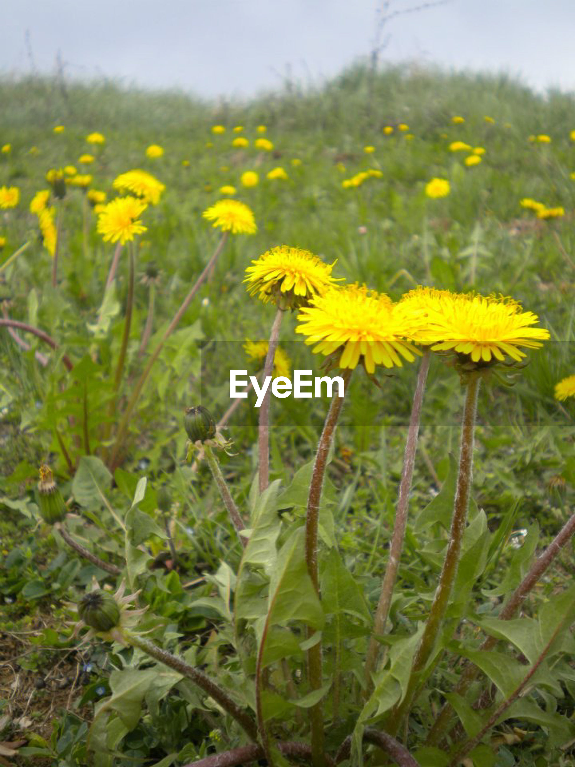 flower, yellow, freshness, growth, fragility, field, beauty in nature, plant, petal, nature, blooming, flower head, stem, focus on foreground, in bloom, close-up, wildflower, tranquility, blossom, day