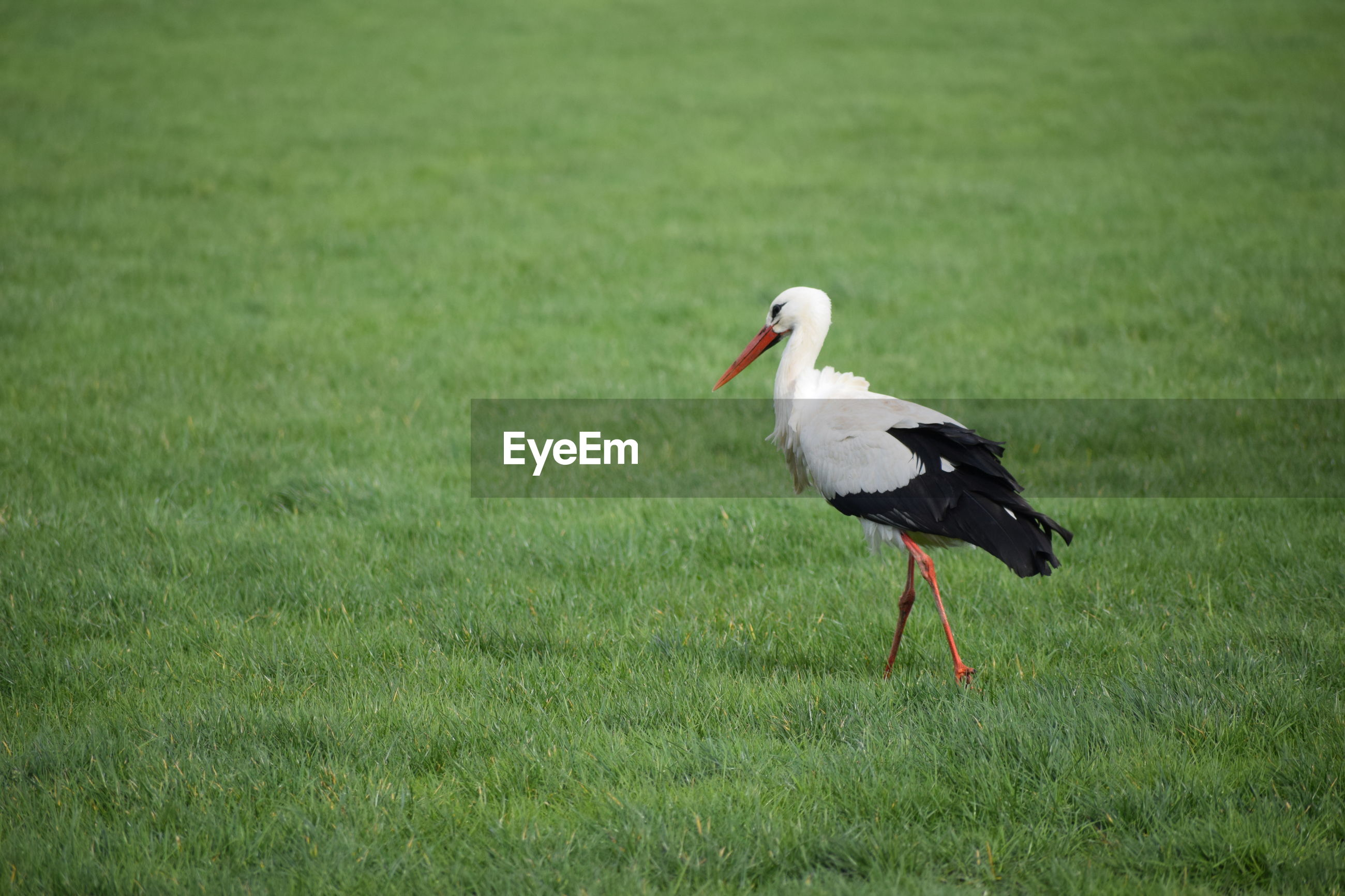 stork / ooievaar Grass Bird Animal Animal Themes Vertebrate Animals In The Wild Animal Wildlife Plant One Animal No People Nature Green Color Day Field Land White Stork Stork Focus On Foreground Outdoors Grass Area Storm Cloud Ooievaar