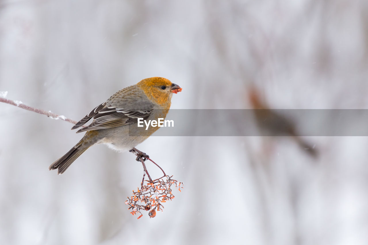 bird, animal themes, animal, vertebrate, animal wildlife, animals in the wild, perching, focus on foreground, one animal, no people, close-up, day, selective focus, cold temperature, winter, snow, nature, outdoors, robin