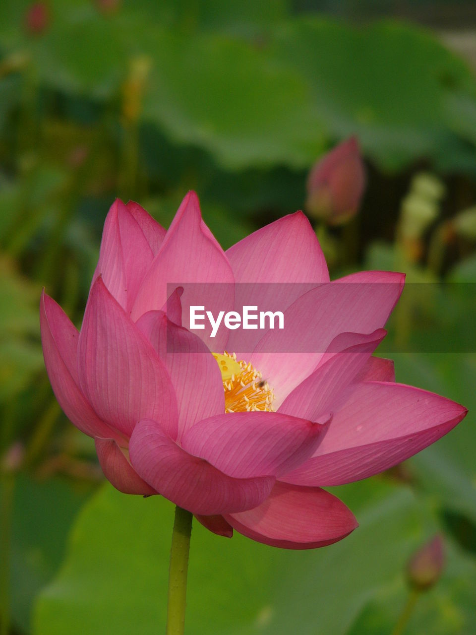 petal, flower, nature, flower head, beauty in nature, fragility, pink color, growth, freshness, focus on foreground, blooming, day, close-up, outdoors, no people, plant, lotus water lily