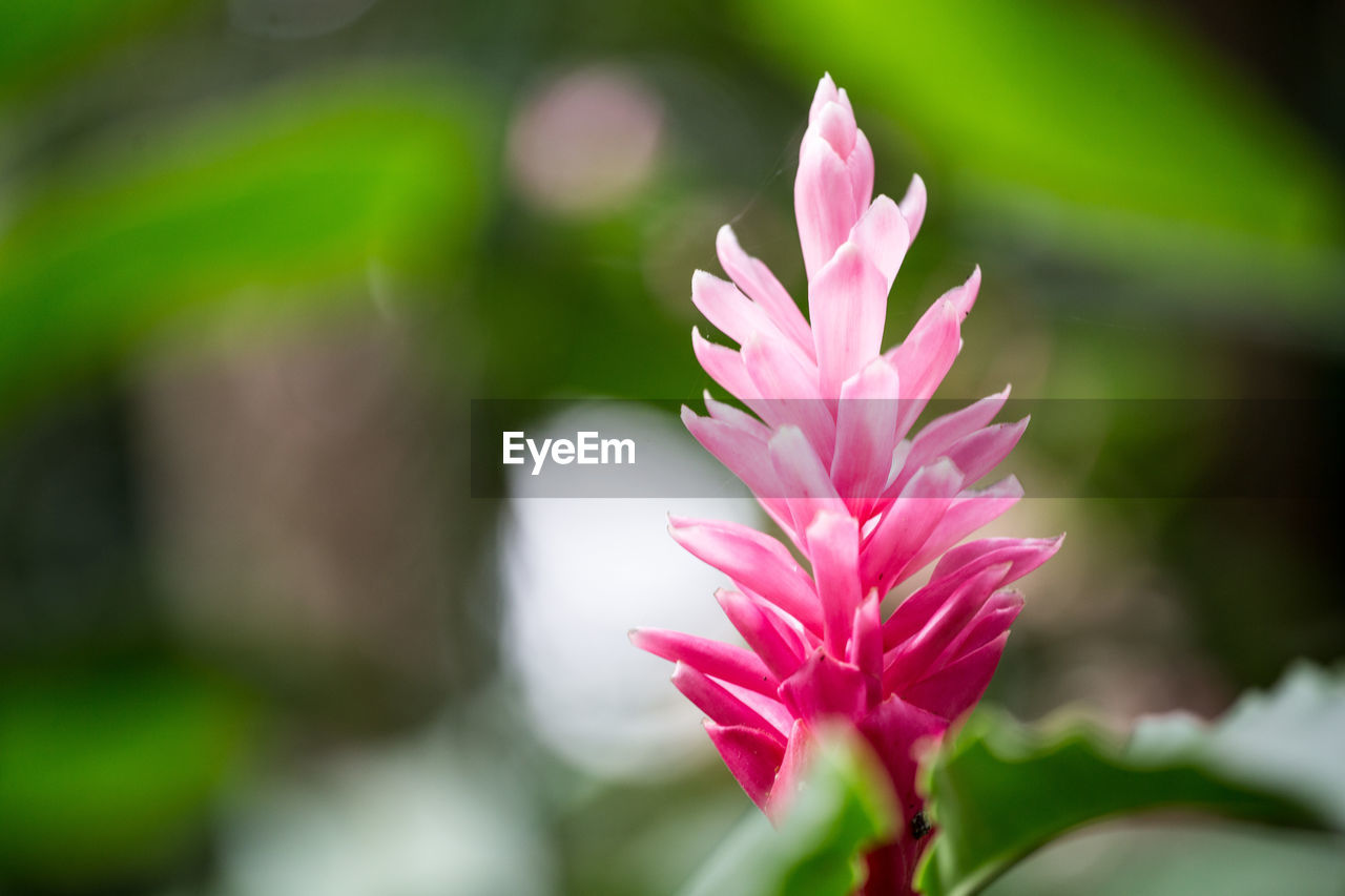 flower, nature, pink color, beauty in nature, fragility, growth, freshness, plant, focus on foreground, close-up, outdoors, day, no people, flower head, blooming