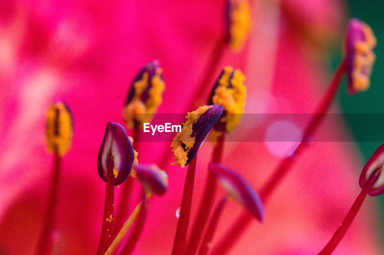 CLOSE-UP OF PINK ROSES ON PURPLE FLOWERING PLANT