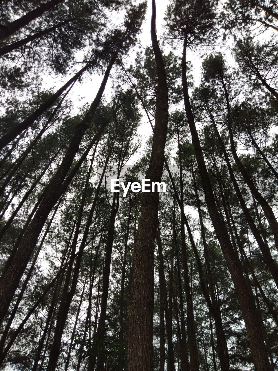 tree, plant, forest, low angle view, land, tree trunk, trunk, growth, woodland, tall - high, tranquility, beauty in nature, no people, nature, outdoors, day, sky, branch, tranquil scene, abundance, tree canopy, bamboo - plant, directly below