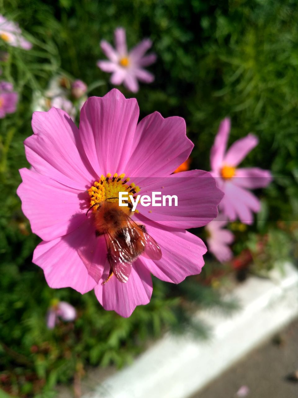 flowering plant, flower, insect, beauty in nature, petal, fragility, invertebrate, vulnerability, freshness, animal wildlife, plant, growth, bee, flower head, animals in the wild, animal, animal themes, close-up, inflorescence, one animal, pollination, pollen, pink color, no people, bumblebee, purple