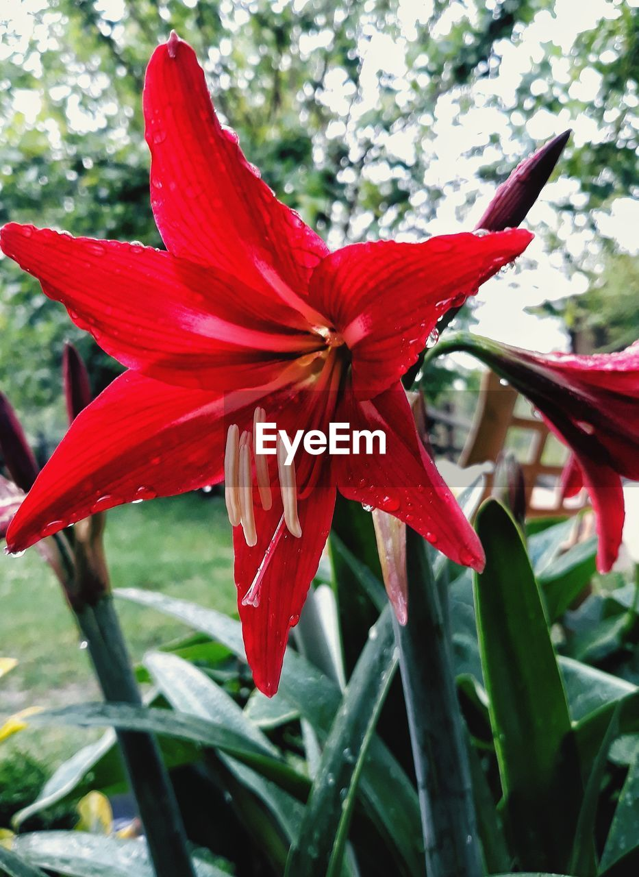 flowering plant, flower, red, plant, petal, beauty in nature, growth, inflorescence, freshness, fragility, flower head, vulnerability, close-up, focus on foreground, day, nature, no people, botany, pollen
