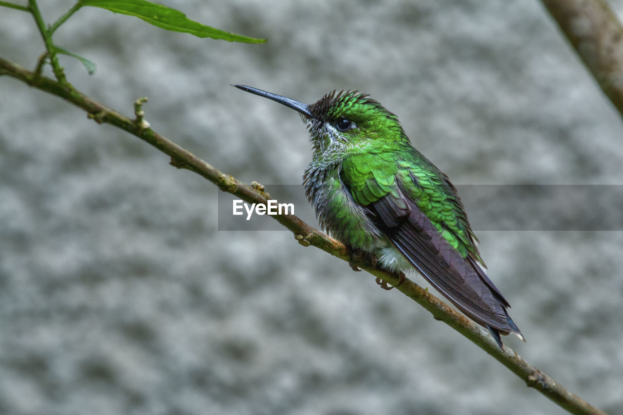 animal themes, bird, animal wildlife, animal, animals in the wild, perching, vertebrate, one animal, focus on foreground, plant, branch, green color, day, no people, tree, close-up, nature, outdoors, twig, beak