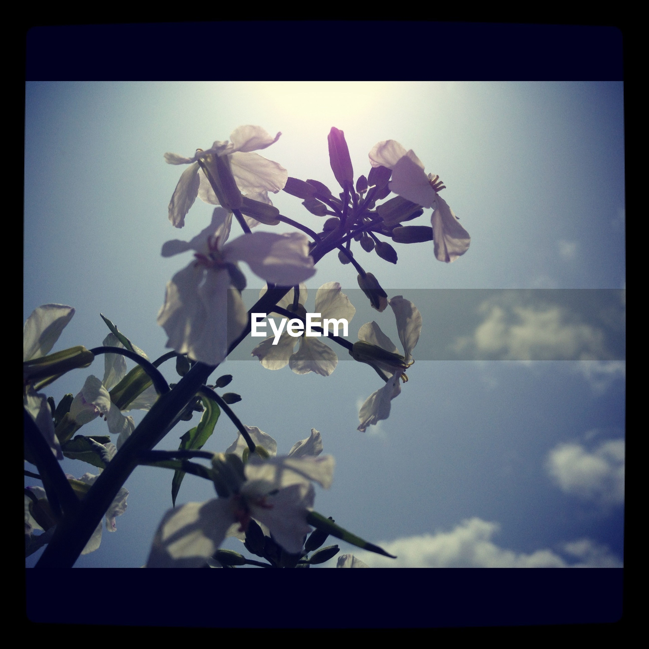 transfer print, flower, auto post production filter, low angle view, freshness, fragility, petal, growth, sky, beauty in nature, nature, flower head, close-up, blooming, white color, day, plant, no people, blossom, blue