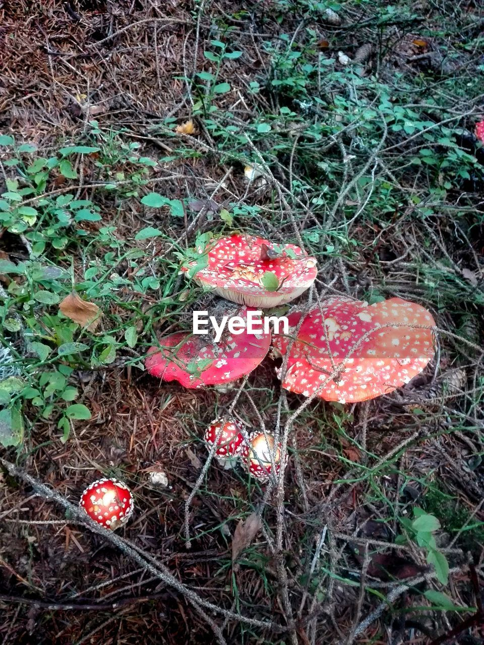 mushroom, fungus, food, red, plant, land, growth, fly agaric mushroom, field, nature, toadstool, no people, vegetable, day, food and drink, beauty in nature, high angle view, close-up, outdoors, vulnerability, poisonous